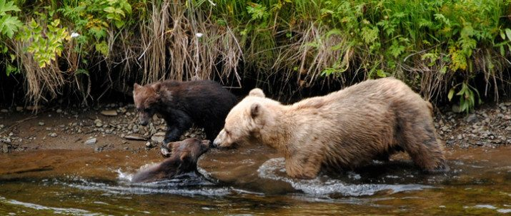 http://icystraitpoint.com/wp-content/uploads/2015/12/Sow-and-Cubs-in-river-3-715x303-1-715x303.jpg