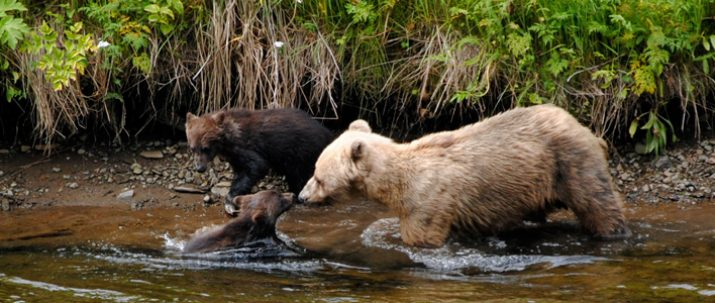 https://icystraitpoint.com/wp-content/uploads/2015/12/Sow-and-Cubs-in-river2-715x303.jpg