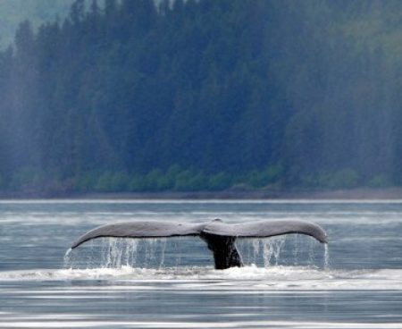 http://icystraitpoint.com/wp-content/uploads/2015/12/Whale-glassy-tail-2-377x377-1-450x368.jpg