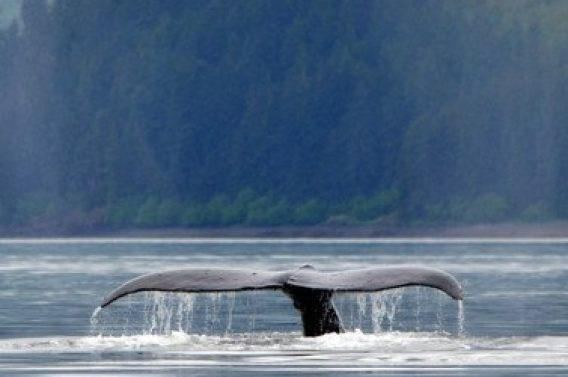 http://icystraitpoint.com/wp-content/uploads/2015/12/Whale-glassy-tail-2-377x377-1-568x377.jpg