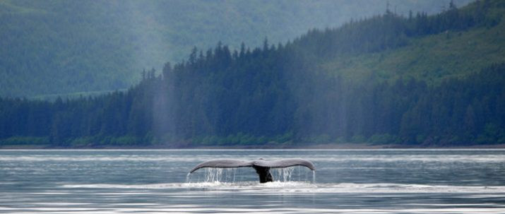 http://icystraitpoint.com/wp-content/uploads/2015/12/Whale-glassy-tail1-715x303.jpg