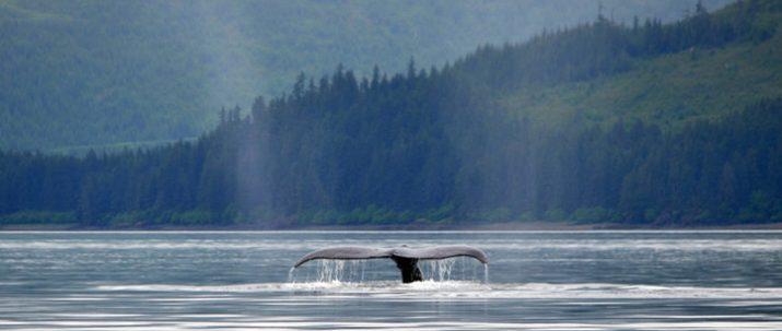 https://icystraitpoint.com/wp-content/uploads/2015/12/Whale-glassy-tail1-715x303.jpg